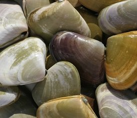 Clams, Cockles, Pipis